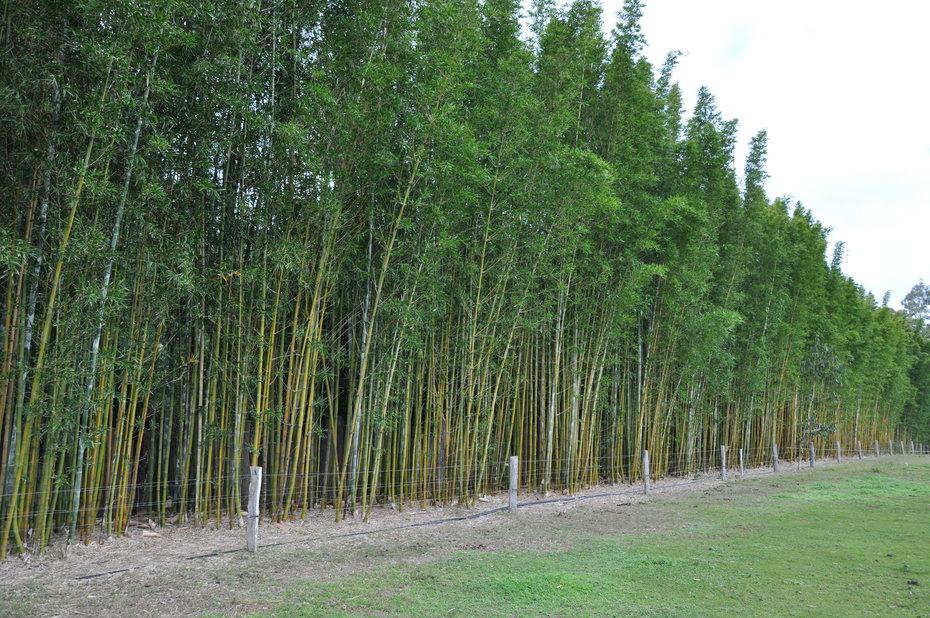Bambusa Oldhamii Bamboo Land Nursery Qld Australia
