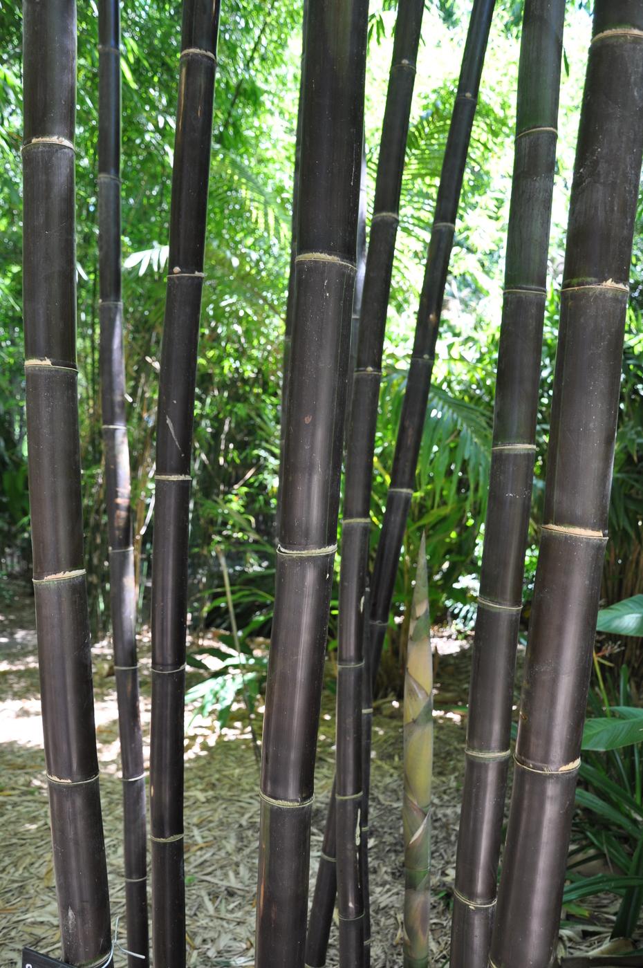 Bambusa Lako Timor Black Bamboo Land Nursery Qld Australia