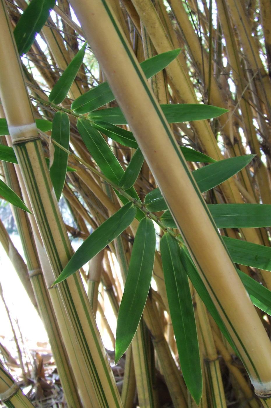 Bambusa Multiplex Cv Alphonse Karr Bamboo Land Nursery