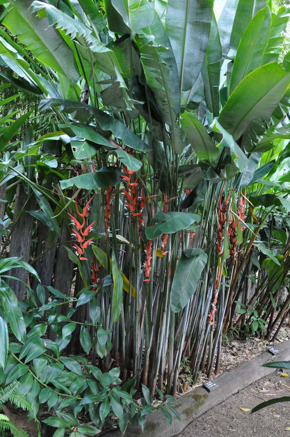 Full Garden In Backyard: Heliconia Pendula 'Waxy Red'