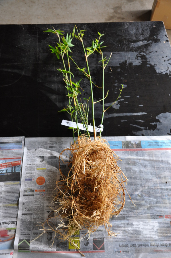 Bamboo washed free from soil with some foliage removed.