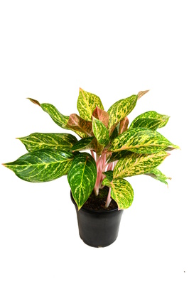 Aglaonema 'Nightsparkle' - 180mm pot
