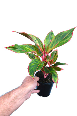 Aglaonema 'Siam Aurora' - 125mm pot