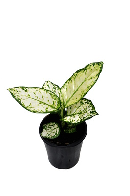 Aglaonema 'Super White' - 125mm pot