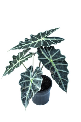 Alocasia 'Polly' - 125mm pot