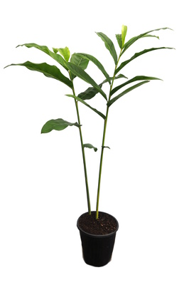 Alpinia officinarum (Lesser Galangal) - 180mm pot