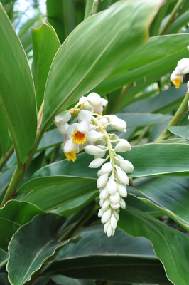 Alpinia zerumbet 'Cream Shell Ginger'