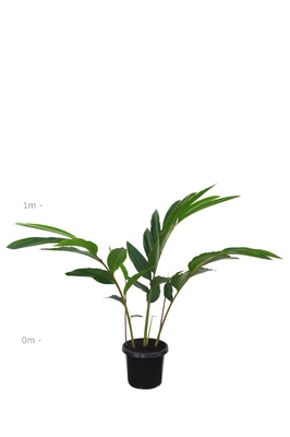Alpinia zerumbet 'Green Shell Ginger' - 300mm pot