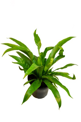 Asplenium antiquum (Japanese Bird's Nest Fern) - 125mm pot