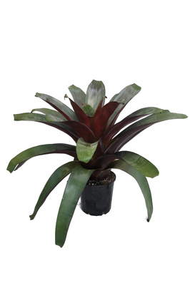 Alcantarea imperialis 'Silver Plum' - 200mm pot