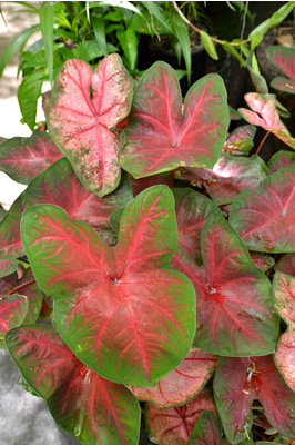 Caladium assorted - 125mm pot