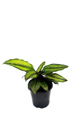 Calathea 'Beauty star' - 125mm pot