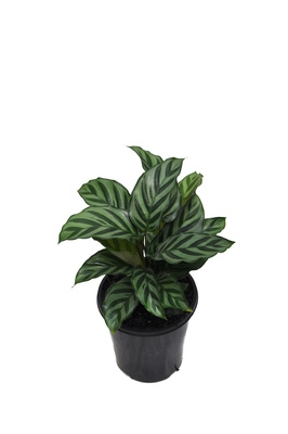 Calathea 'Freddy' - 125mm pot