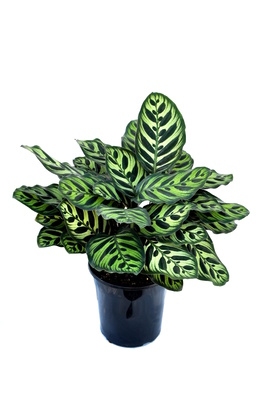 Calathea makoyana - 180mm pot