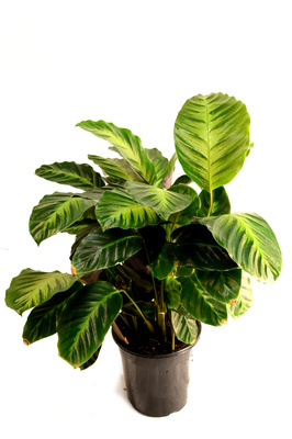 Calathea 'Misto' - 180mm pot