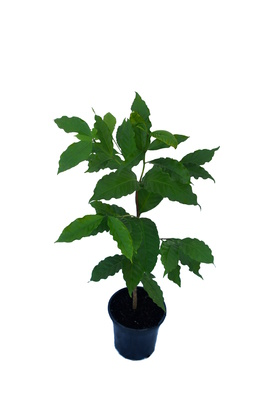 Coffea arabica (Arabica Coffee Tree) - 180mm pot