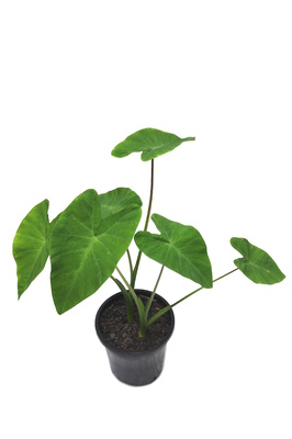 Colocasia esculenta (Edible Taro) - 125mm pot