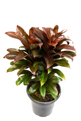 Cordyline compacta - 180mm pot