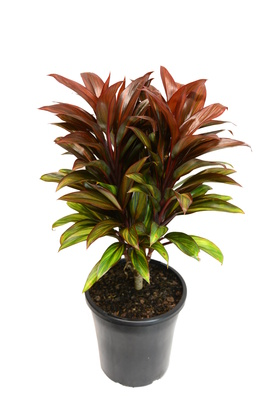 Cordyline fruticosa 'Cointreau' - 180mm pot