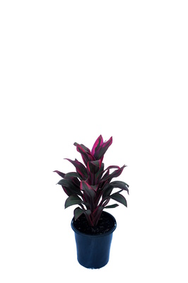 Cordyline fruticosa 'Suzie's Choice' - 125mm pot