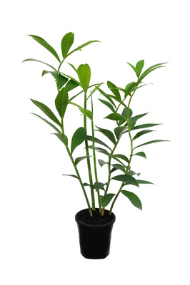 Costus woodsonii (French Kiss) - 180mm pot