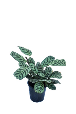 Ctenanthe burle-marxii - 125mm pot