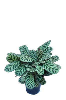 Ctenanthe burle-marxii - 180mm pot