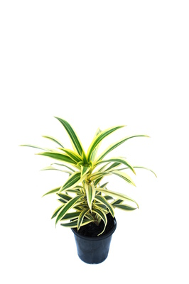 Dracaena reflexa (Song of India) - 125mm pot