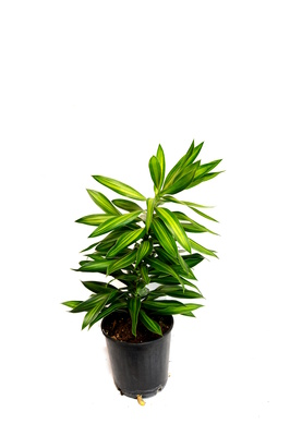 Dracaena reflexa (Song of Jamaica) - 125mm pot