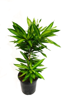 Dracaena reflexa (Song of Jamaica) - 180mm pot