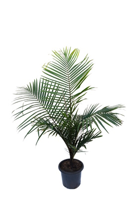 Dypsis leptocheilos 'Redneck palm' - 300mm pot