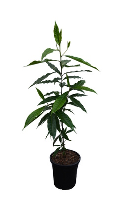 Elaeocarpus grandis (Blue Quandong) - 180mm pot