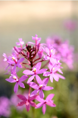 Epidendrum ibaguense (Crucifix Orchid) - Pink - 125mm pot