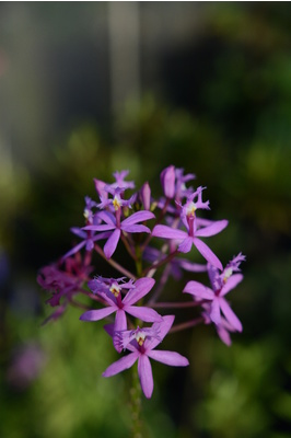 Epidendrum ibaguense (Crucifix Orchid) - Purple