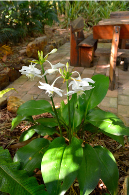 Eucharis grandiflora (Amazon Lily)