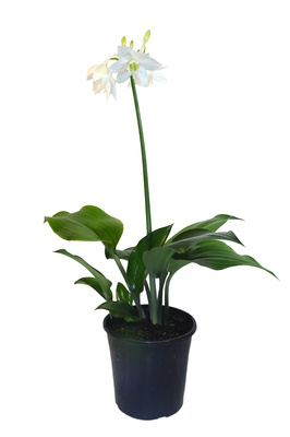 Eucharis grandiflora (Amazon Lily) - 180mm pot