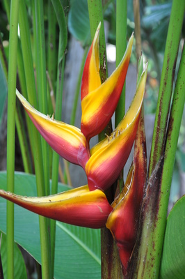 Heliconia bihai 'Banana Split' - 200mm pot