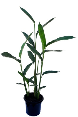 Heliconia psittacorum 'Sassy' - 300mm pot