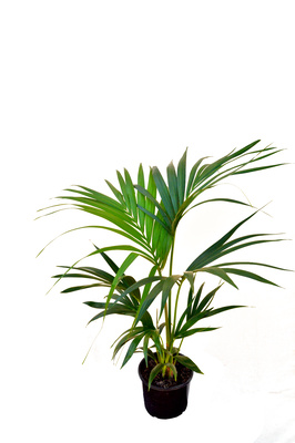 Howea forsteriana (Kentia Palm) - 200mm pot