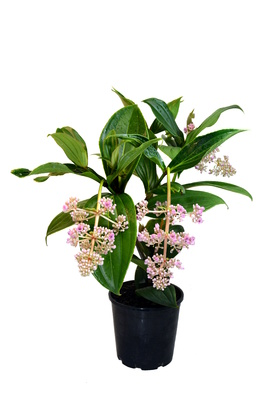 Medinilla myriantha - 180mm pot