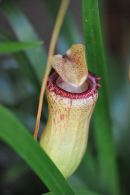 Nepenthes sanguinea 'Red Form' (Pitcher Plant)