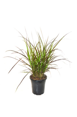 Pennisetum advena 'Rubrum' (Purple Fountain Grass) - 180mm pot