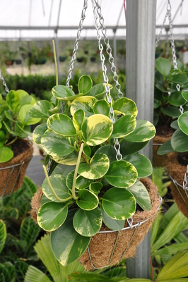 Peperomia obtusifolia 'Green and Gold'