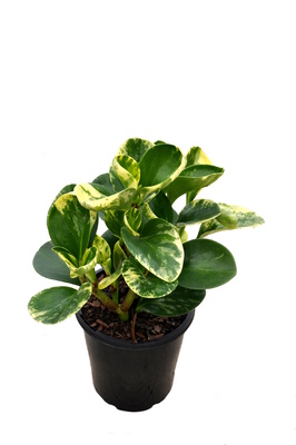 Peperomia obtusifolia 'Green and Gold' - 125mm pot