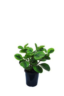 Peperomia obtusifolia 'Lime' - 125mm pot