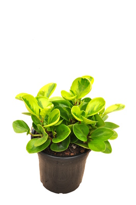 Peperomia obtusifolia 'Lime' - 180mm pot