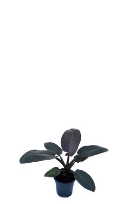Philodendron 'Black Cardinal' - 125mm pot