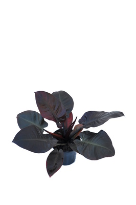 Philodendron 'Black Cardinal' - 180mm pot
