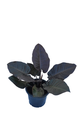 Philodendron 'Black Cardinal' - 300mm pot