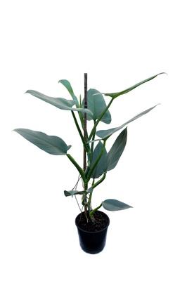 Philodendron hastatum (Silver Sword) - 125mm pot